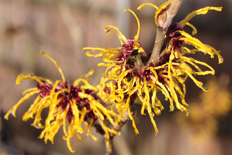 witch hazel - aftershave